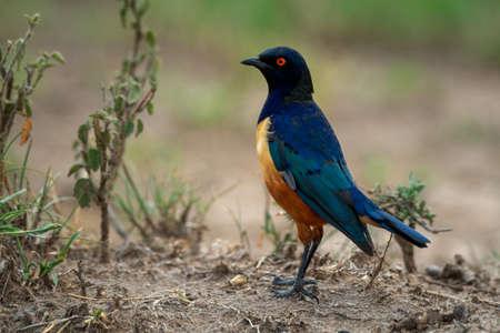 Hildebrandt starling stands facing left in profile