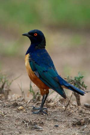 Hildebrandt starling stands in profile facing left