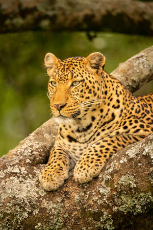 Close-up of leopard resting paws on branch Imagens