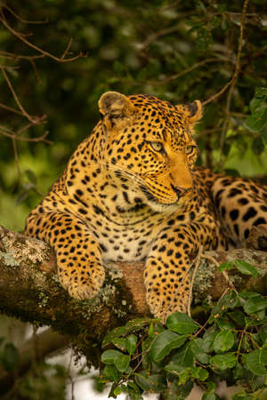 Close-up of leopard lying on leafy branch