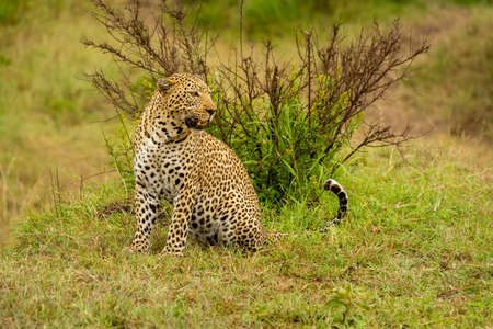 Leopard sits on grassy bank looking right