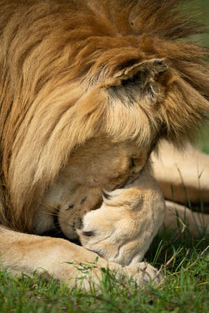 Close-up of lion covering eyes with paw Imagens