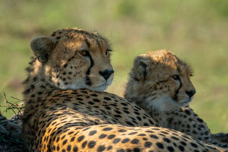 Close-up of cheetah with cub lying side-by-side Imagens