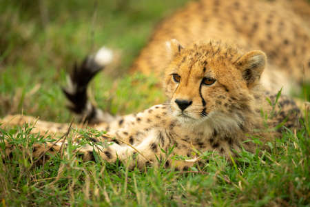 Close-up of cheetah cub lying by mother