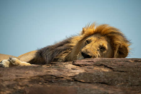 Close-up of lion peeping over rocky ridge 版權商用圖片