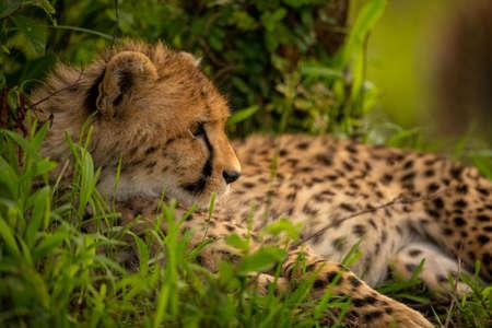 Close-up of cheetah cub lying in bushes