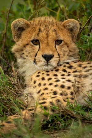 Close-up of cheetah cub staring towards camera