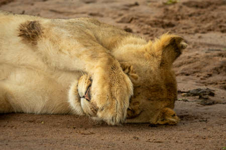 Close-up of lioness covering face with paw