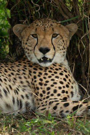 Close-up of cheetah lying staring at camera
