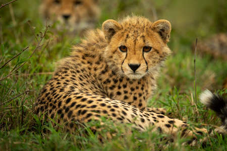 Close-up of cheetah cub lying with family Imagens
