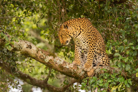 Leopard sits on lichen-covered branch looking down Imagens
