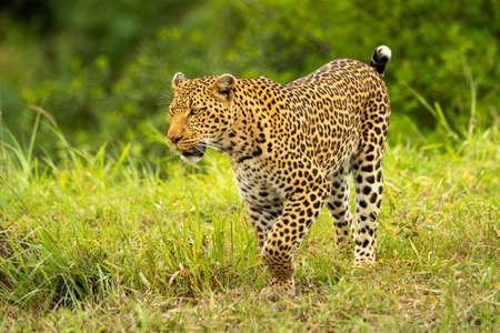 Leopard lifts paw while walking through savannah