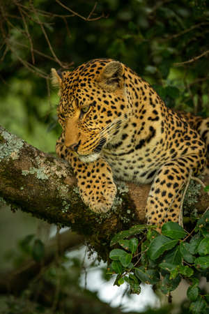 Leopard lies looking down from tree branch Imagens