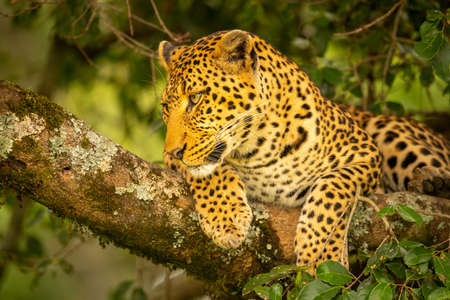 Close-up of leopard lying on mossy branch Imagens