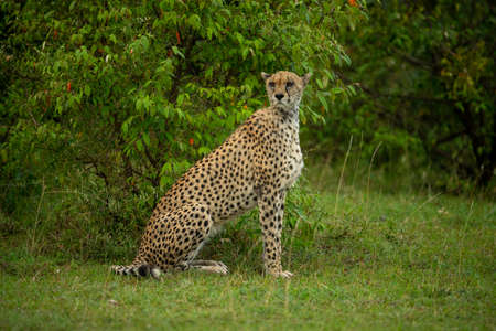 Female cheetah sits by bush looking round Imagens