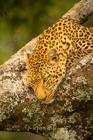 Close-up of leopard resting head on branch