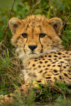 Close-up of cheetah cub lying in undergrowth Imagens
