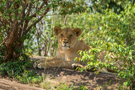 Close-up of lioness lying under shady bushes