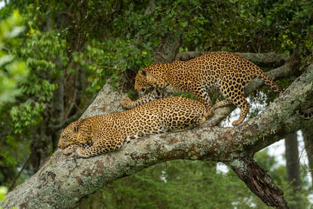 Leopard climbs past another lying on branch
