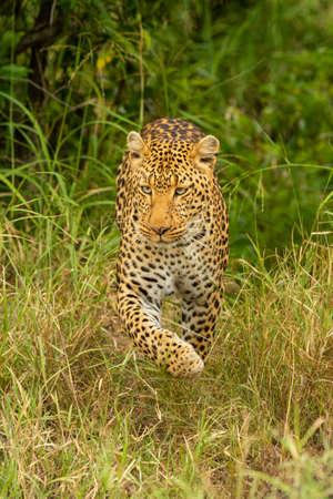 Leopard walks through tall grass lifting paw Imagens