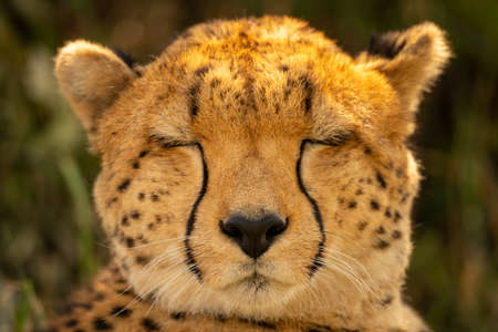 Close-up of cheetah head with eyes closed