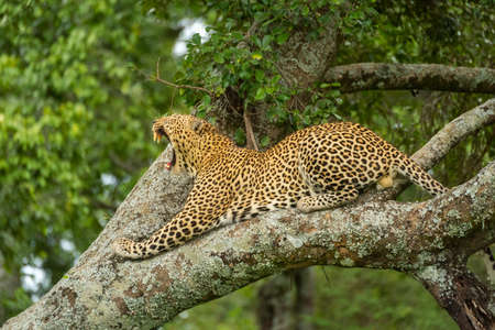Leopard lies yawning on tree in forest