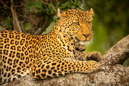Close-up of leopard staring right on branch