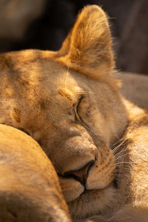 Close-up of lioness lying asleep by another 版權商用圖片