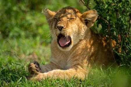 Close-up of lion cub yawning under bush