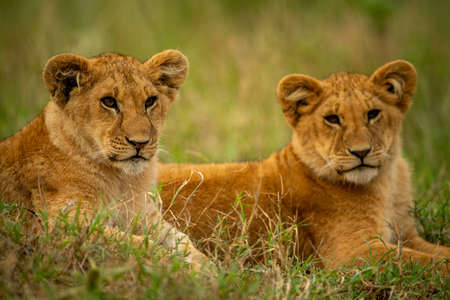 Close-up of two lion cubs lying side-by-side