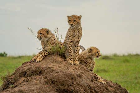 Three cheetah cubs side-by-side on termite mound