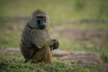 Olive baboon sitting on grass clasping hands