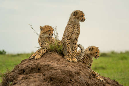 Three cheetah cubs together on termite mound