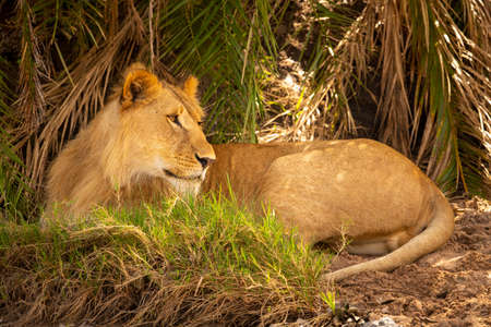 Male lion lies under palms looking back Imagens