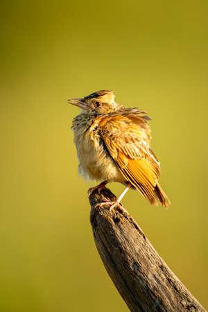 Rufous-naped lark on dead log in sunshine