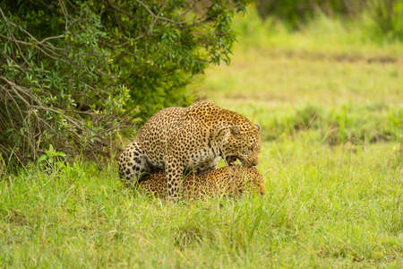 Two leopards mating in grass by bush Imagens
