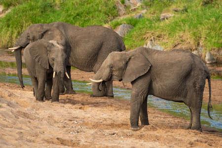 Three African elephants standing on sandy riverbank