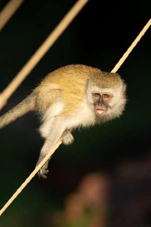 Vervet monkey balances on rope in sunshine Imagens
