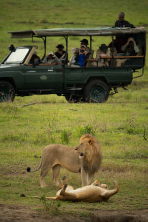 Photographers in safari truck watch two lions