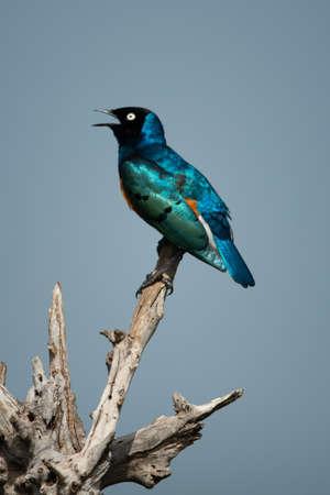 Superb starling sings perching on dead log Imagens