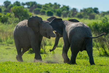 Two young elephants play fight in grass Imagens