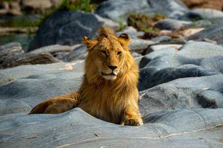 Young male lion lies on riverbed rocks