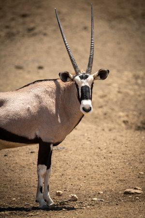 Close-up of gemsbok turning head towards camera 免版税图像