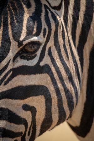 Close-up of plains zebra face and neck