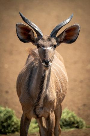 Close-up of male greater kudu watching camera