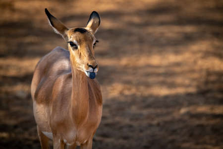 Close-up of female common impala extending tongue