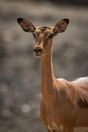 Close-up of female common impala in sun