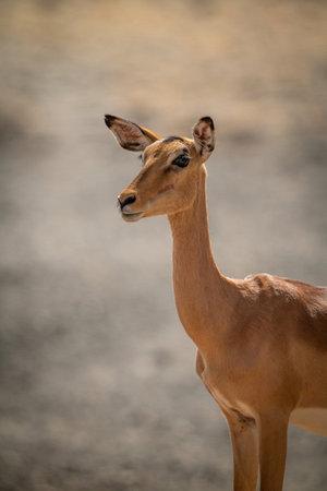Close-up of female common impala in sunshine