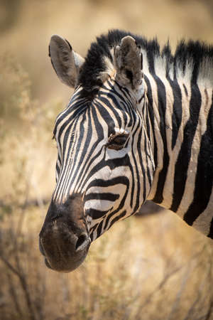 Close-up of plains zebra head eyeing camera 免版税图像