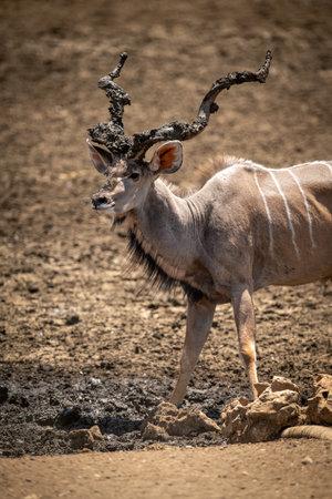 Close-up of male greater kudu at waterhole